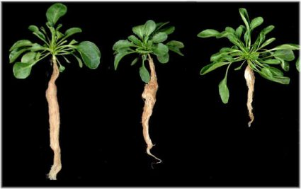 Three populations originated from St Félix-de-Pallière, Puente Basadre and Prayon (from left to right) grown on high Cd levels. Roosens et al. 2005